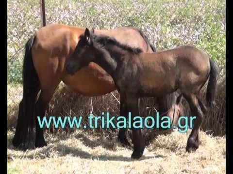 Τρίκαλα Ζωοπάζαρο Τρικάλων άλογα γαϊδούρια 14-9-2011