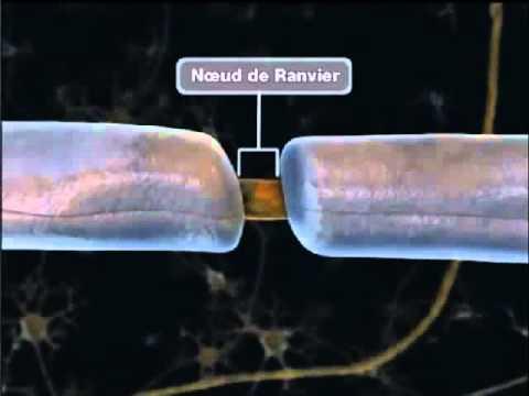 La propagation de l 39 influx nerveux youtube for Influx nerveux