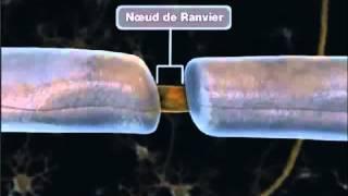 La propagation de l'influx nerveux thumbnail