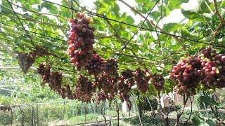 Обрезка винограда на беседке и арке ВИДЕО.