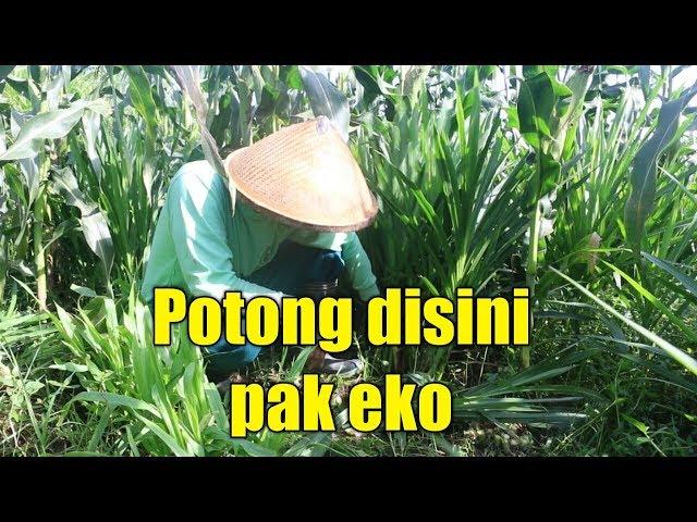 cara panen Rumput Odot atau Cara ngarit rumput odot