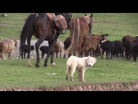 видео: Таджикские саги дахмарда из Варзоба. tajik sagi dahmarda from varzob