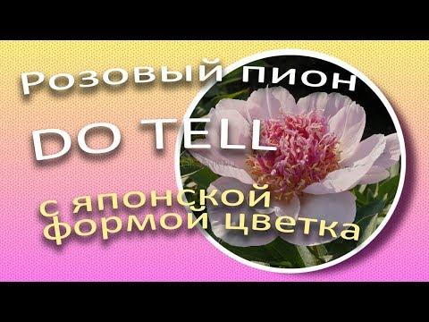 Розовый пион DO TELL с японской формой цветка / Сад Ворошиловой