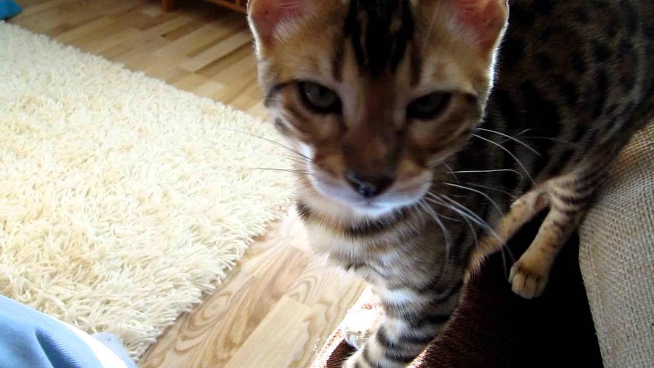 Bengal Cat Meowing Youtube
