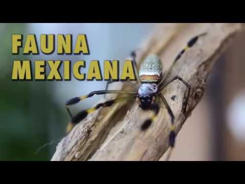 Araña de Seda Dorada (Nephila clavipes) | Fauna Mexicana