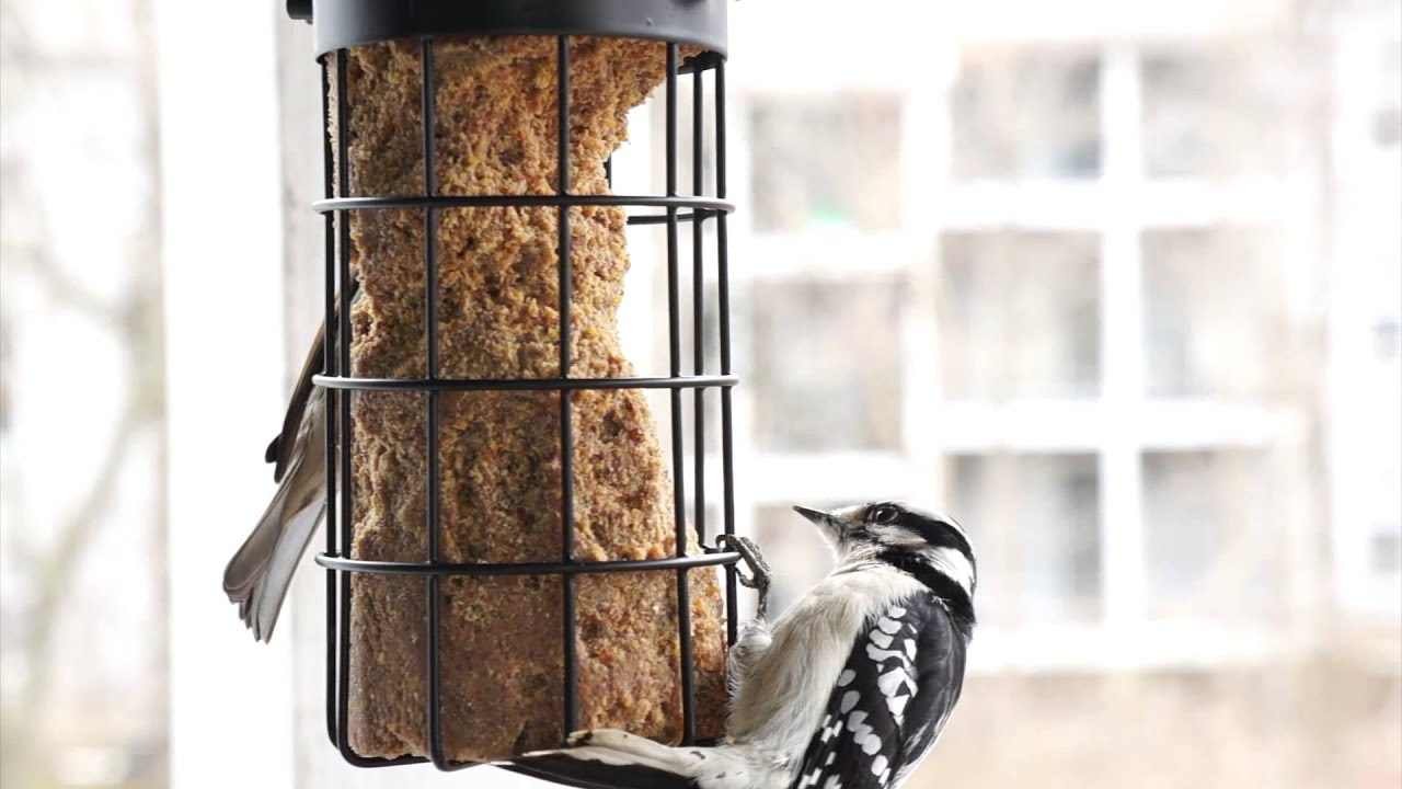 7 ever seen a downy woodpecker video of birds at suet feeder