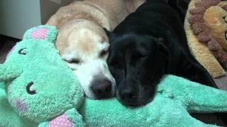 布団を敷いてくれるのを待つている2匹。でもまちきれないで寝てしまう。