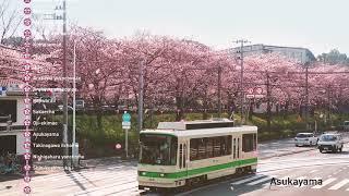 【都電】東京さくらトラム(都電荒川線)花咲く東京下町電車 [Tokyo Sakura Tram]