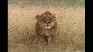 Explore the Wildlife Kingdom Lions - Trailer