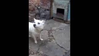 пёс ЧИП