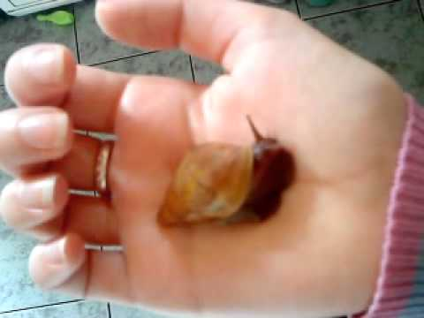 My rare Achatina Fulica Rodatzi Giant African Land Snail - Twinkle