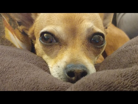 🦊⛪👱👱♀ Chihuahua Chills Out Hard On Sunday