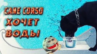Как собака Кане Корсо просит воды. #canecorso