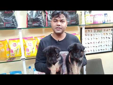 German Shepherd Puppies For Sale 8000 Only Delhi NCR (Cheapest Dog Market) 9711696640