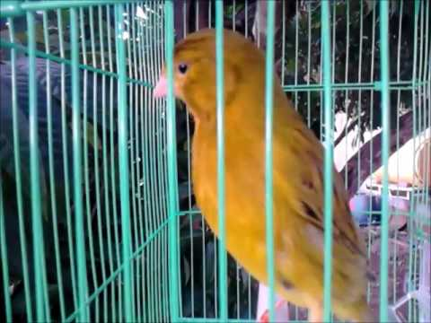 chant de canari timbrado mp3