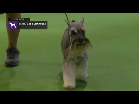 Miniature Schnauzers | Breed Judging 2019