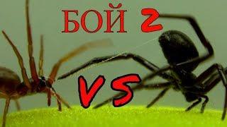Битва пауков 2. Бой паука Чёрная Мамба против Дикого Вепря.