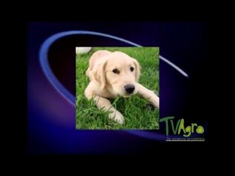 Tratamiento para las convulsiones en perros - TvAgro por Juan Gonzalo Angel