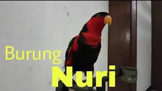 Ternyata Tinggi Sekali Suara Burung Nuri Kepala Hitam