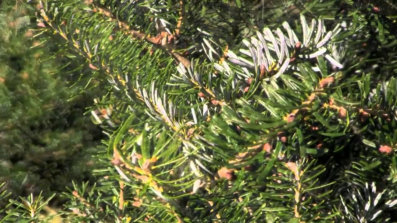 Christmas Tree Species: Korean Fir