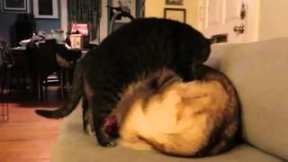 商売上手、てか押し売り?ハスキーをマッサージしたらギブアンドテイクを要求する猫