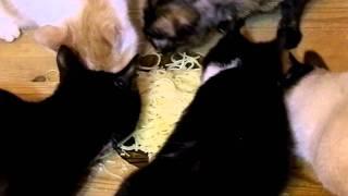 Кошки едят спагетти с оливковым маслом 12 января 2012