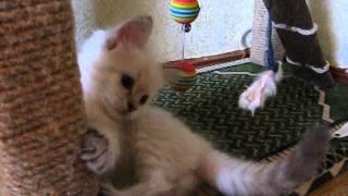 Котёнок невской маскарадной кошки 1,5 мес.