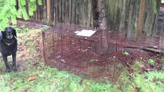 Humane Trap Demo with Kelsy