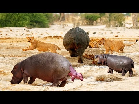 THE HERD PROTECT BABY HIPPO WAS BORN AND CHASE LION | Hippo Giving Birth In The River