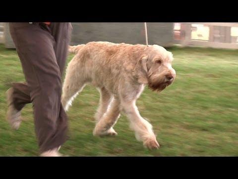 Bournemouth Championship Dog Show 2013 Gundog group