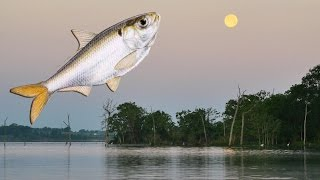 Shad Spawning Tip for Bass