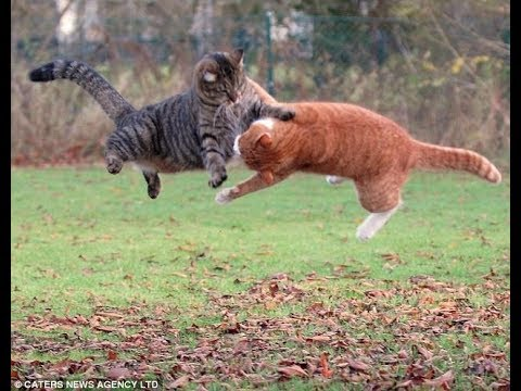 Epic Cat Fight Medal of Honor Cat ! :))