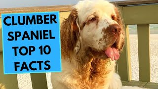 Clumber Spaniel  TOP 10 Interesting Facts