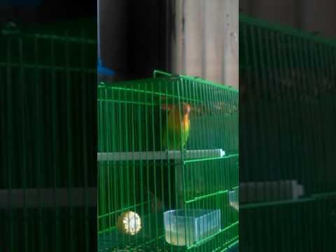 Love bird manggil