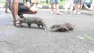 musang rase (anggi) vs Otter :D