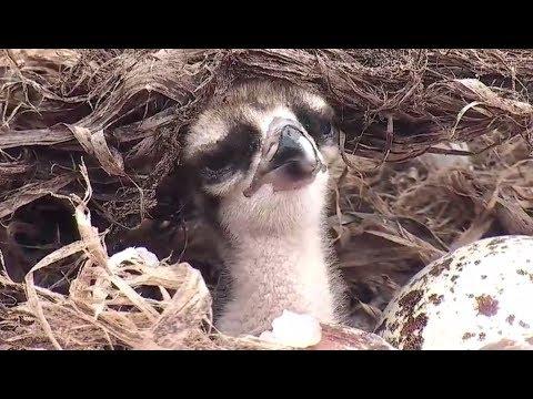 Baby Osprey Gets 1st Good Feeding, Goes Into Food Coma 2017 06 03 17 01 45 515