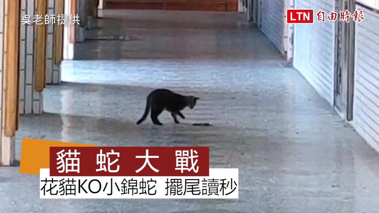 校園「貓蛇大戰」畫面曝光 花貓KO小錦蛇還擺尾讀秒(翻攝畫面)