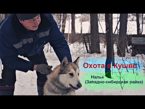 Охота в Кушве -  Нальк(Западно-сибирская лайка) притравка по Барсуку и Медведю