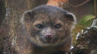 Instant Index: New Mammal, the Olinguito, Discovered
