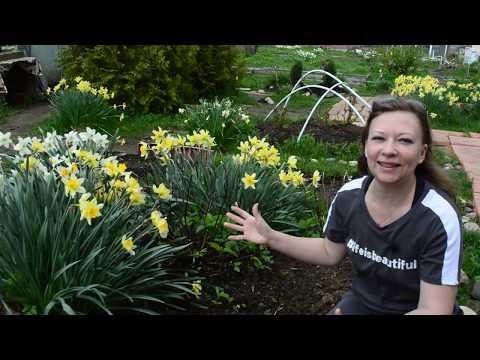 Нарциссы после цветения. Нарциссы посадка и уход. Нарциссы весной подкормка. Нарциссы выращивание