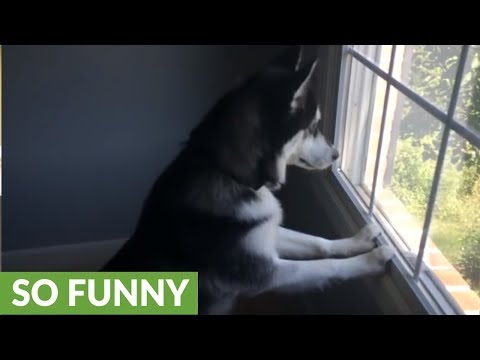 Husky can't contain himself after spotting deer herd in front of house