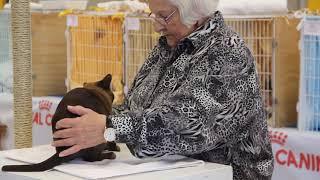 BCCNZ Cat Show 2021  West Melton.  Myasanda Cheeky Hobson