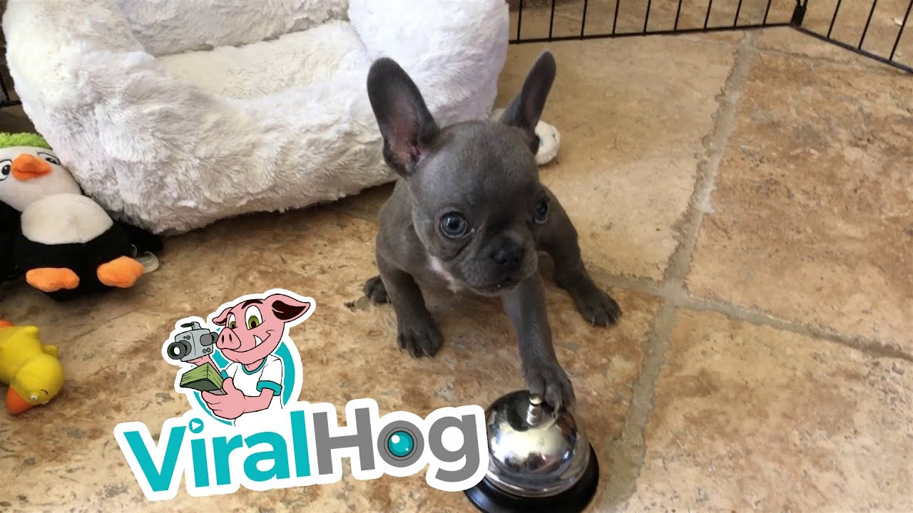 puppy-rings-bell-for-a-treat-viralhog