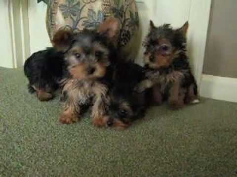 Yorkshire Terrier Puppies From Roses Litter Yorkies Youtube