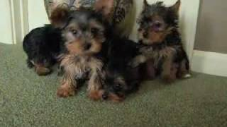 Yorkshire Terrier Puppies From Rose's Litter - Yorkies!