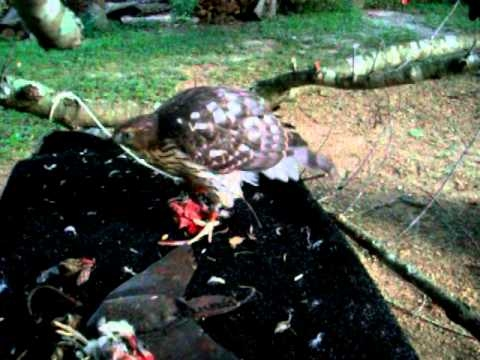 Two coopers hawks tiercels at hack
