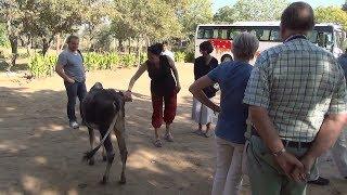Яловке, молодой корове, уж очень понравилась одна из туристок!