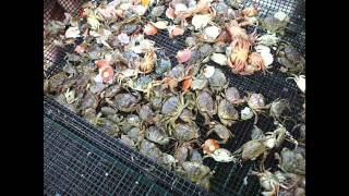 Sea Scallop Farming in Maine: Seed Handling and Bottom Cages