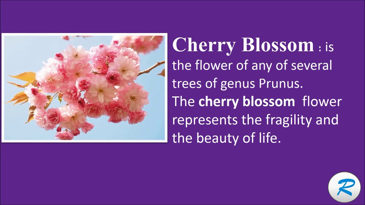 How to pronounce cherry blossom cherry blossom pronunciation how to pronounce cherry blossom cherry blossom pronunciation cherry blossom meaning izmirmasajfo Image collections