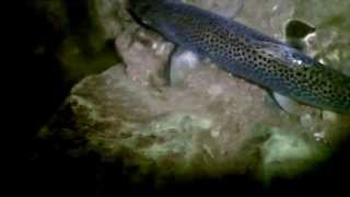 "Sea Trout on the Fly at night. ""September"" ( HD )"